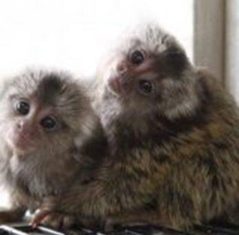 marmosets
